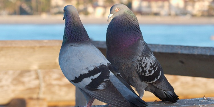 Pigeons can identify cancer.