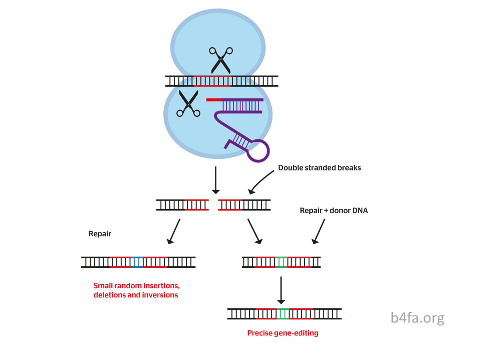 CRISPR cuts and inserts snippets of DNA. Diagram.
